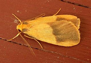 <i>Threnosia heminephes</i> species of insect