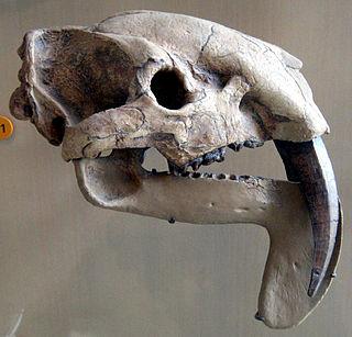Thylacosmilidae extinct family of mammals