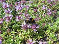 Thymus serpyllum 2018-07-06 3570.jpg