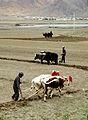 Tibet labour-2.JPG