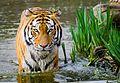 Tiger (13582313234).jpg