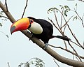 Toco toucan (Ramphastos toco) on a branch.jpg