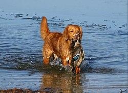 träna stötande hund
