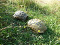 Tortoises in Krushevska Reka valley - P1100145.JPG