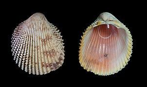 Carbone datant coquille d'escargot