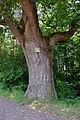Traisen - Naturdenkmal LF-080 - Eichenbaumgruppe - 4.jpg