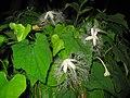 Trichosanthes cucumeroides0.jpg