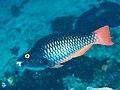 Tricolor parrotfish (Scarus tricolor) (46727236805).jpg