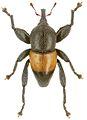 Trigonopterus apicalis holotype - ZooKeys-280-001-g009.jpg