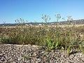 Tripolium pannonicum sl6.jpg