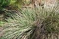 Tripsacum dactyloides var. floridanum 3zz.jpg