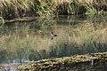 Tufted Duck - Aythya fuligula (43852257724).jpg