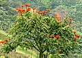 Tulipán africano (Spathodea campanulata) (14101150277).jpg