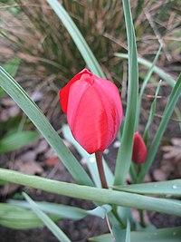Tulipa montana.jpg