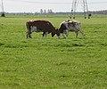 Twee koeien aan het vechten.JPG