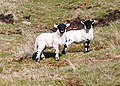 Twin Lambs - geograph.org.uk - 790114.jpg