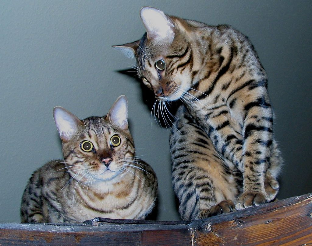 Two bengal cats edit