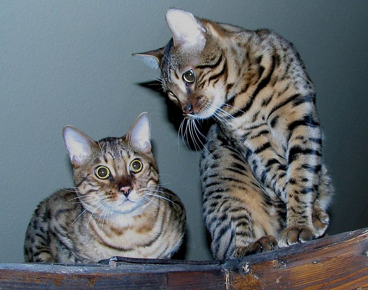 Archivo:Two bengal cats edit.jpg