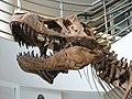 UCMP Trex skull lower left.JPG