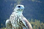 USAF falcon.jpg