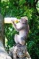 Ubud Macaque drinking juice.jpg