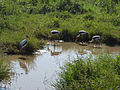 Uda Walawe National Park-Painted storks.jpg