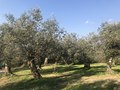 Uliveto frazione Ornito.jpg
