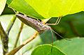 Unidentified Alydidae, Taman Sari, Yogyakarta, 2014-05-19.jpg