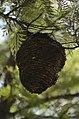 Unidentified paper wasp nest from Valparai Plateau JEG1720.JPG