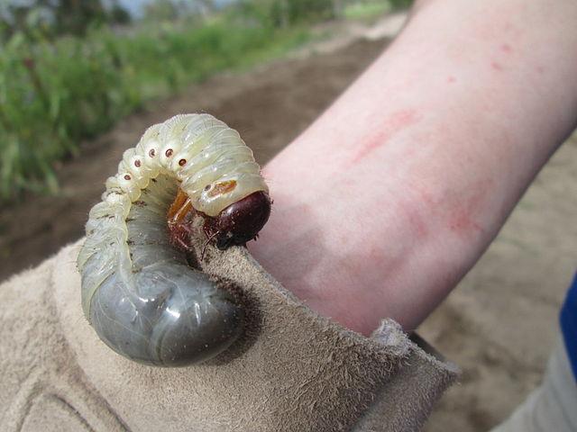 Личинка хруща (источник Викисклад)