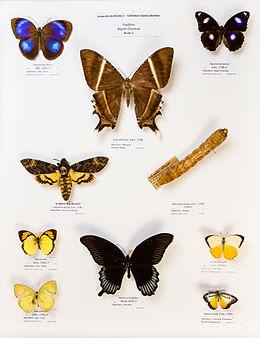 Université de Rennes 1, collection Charles Oberthür, papillons, région orientale, boîte 1.jpg