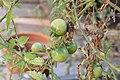 Unripe tomatoes 5 2017-11-21.jpg