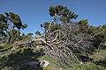Uprooted tree, Île Saint-Martin, Gruissan cf01.jpg