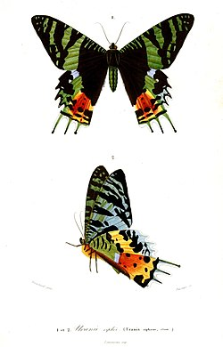 Ilustração de C. rhipheus, em vista superior (acima) e inferior (abaixo), retirada do livro Dictionnaire universel d'histoire naturelle (Plate XIV, 1841-1849), de Charles Dessalines d'Orbigny.[1]