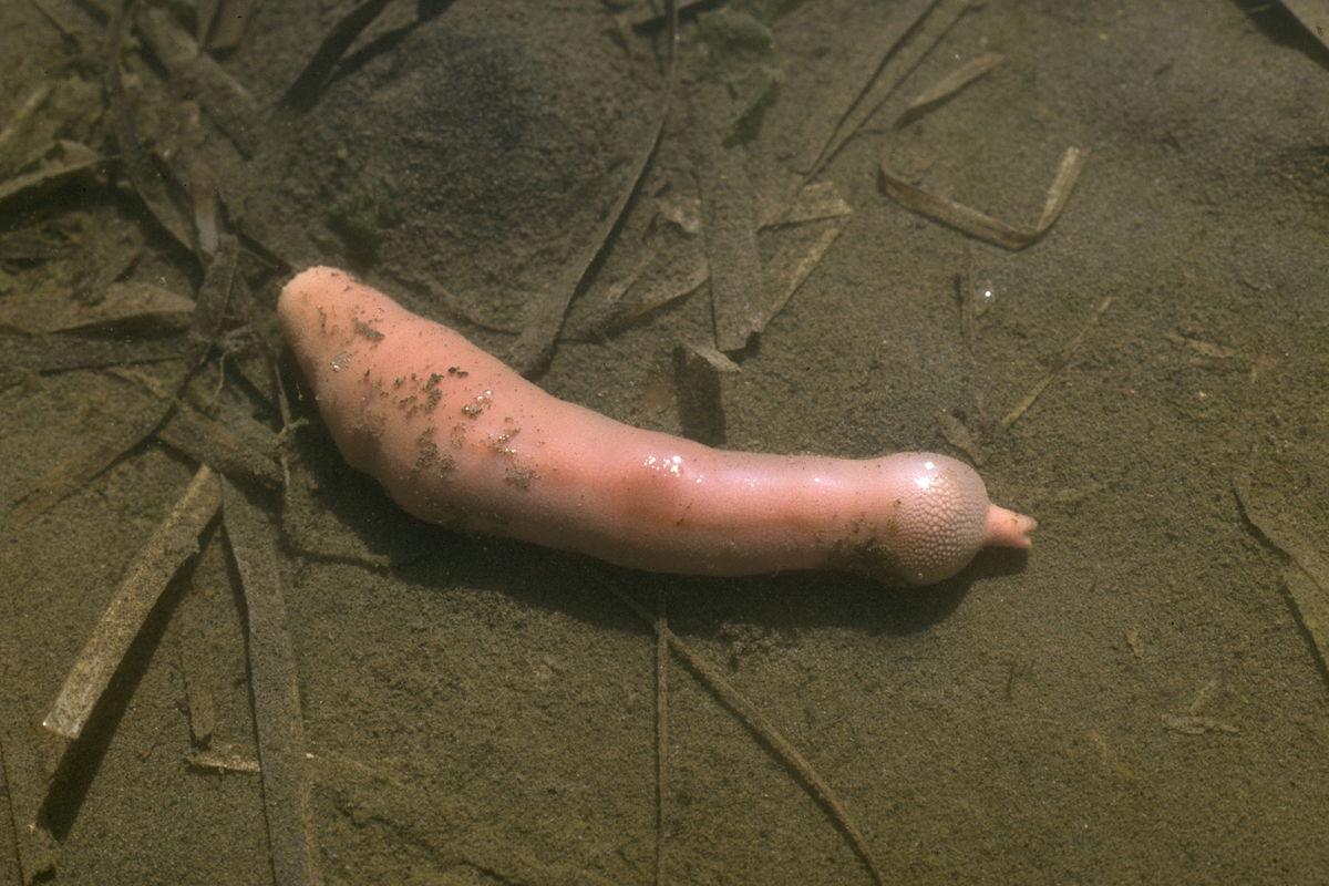 Igelwürmer