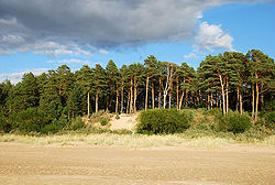 Sand beach lined with pine trees at Narva-Jõesuu.