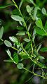 Vaccinium uliginosum - leaves.jpg