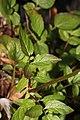 Valeriana sitchensis 4878.JPG