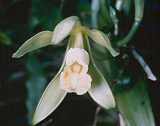 Vanilla (genus) - Flat-leaved vanilla (Vanilla planifolia)