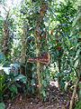 Vanilla planifolia-Sri Lanka (1).jpg