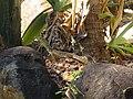 Varanus panoptes (15848624016).jpg