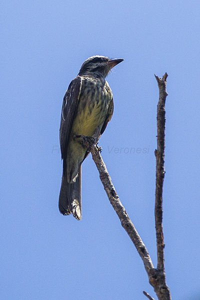 File:Variegated Flycatcher - REGUA - Brazil S4E1318 (12929848365) (2).jpg