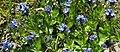 Veronica alpina RF.jpg