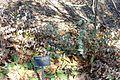 Veronica perfoliata (Parahebe perfoliata) - Leaning Pine Arboretum - DSC05460.JPG
