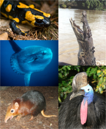 Individual organisms from each major vertebrate group. Clockwise, starting from top left: Fire Salamander, Saltwater Crocodile, Southern Cassowary, Black-and-rufous Giant Elephant Shrew, Ocean Sunfish
