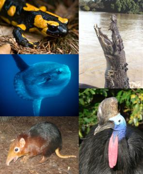 Exemplarische Vertreter der fünf klassischen Gruppen der Wirbeltiere: Feuersalamander (Amphibien),  Leistenkrokodil (Reptilien), Helmkasuar (Vögel), Rotschulter-Rüsselhündchen (Säuger), Mondfisch (Fische)