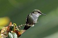 Vervain hummingbird (Mellisuga minima).jpg
