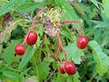 Viburnum lentago SCA-04787.jpg