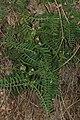 Vicia nigricans 5008.JPG