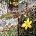 "Villa Haas Sinn Sternbergia lutea ""Gewitterblume"".jpg"